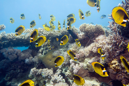 butterfly fish: Shoal of striped butterfly fish at the coral reef Stock Photo