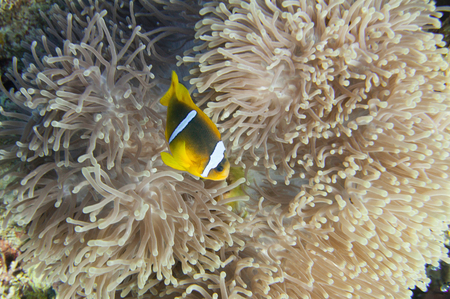 symbiosis: Clown fish swimming through anemone tentacles Stock Photo