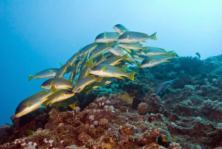 sweetlips: Yellowspotted sweetlip shoal