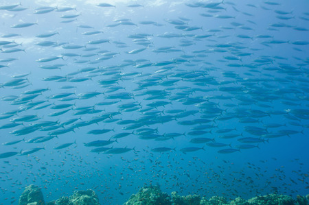 passing over: Large school of fish passing over coral reef