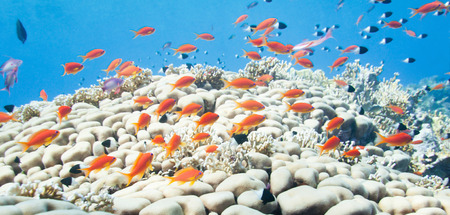 anthias: Small school of anthias swimming over coral formation. Stock Photo
