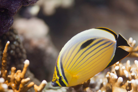 polyp corals: Polyp butterflyfish (Chaetodon Austiacus) swimming over fire corals in the Red Sea.