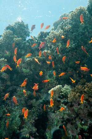 anthias fish: School of brightly lit anthias fish playing in coral shade Stock Photo