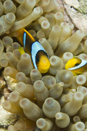 peces payaso: Clownfish family swimmimg through the anemone. Close-up, selective focus, taken in the Red Sea Foto de archivo
