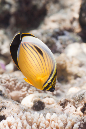 chaetodontidae: Blacktail Butterflyfish (Chaetodon Austriacus). Close up, selective focus