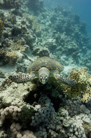 ''wide angle'': Endangered hawksbill turtle swimming over corals. Wide angle, selective focus