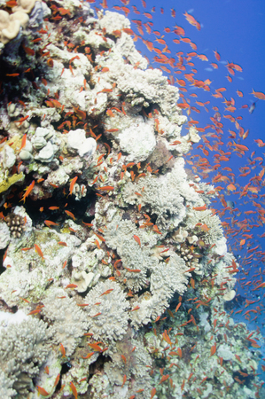 large formation: Massive coral formation attracting tropical fish in large numbers Stock Photo