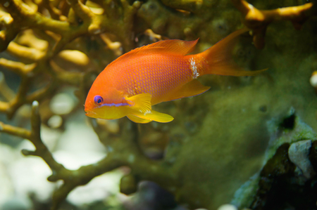 anthias: Close-up of gold fish swimming through coral network. Selective focus Stock Photo