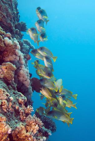 sweetlips: Yellow sweetlips shoal on the coral wall Stock Photo