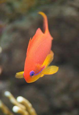 anthias fish: Brightly colored anthias fish swimming over a fire coral. Very shallow depth of field, focus set to the eye.