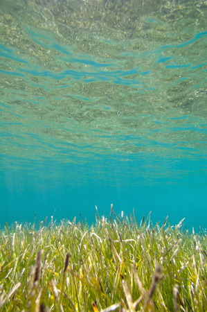 sea grass: Sea grass in shallow water with surface reflections above