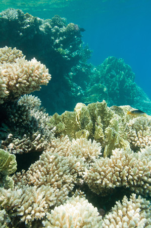 ambient light: Rich coral gardens beneath the surface. Wide angle, ambient light