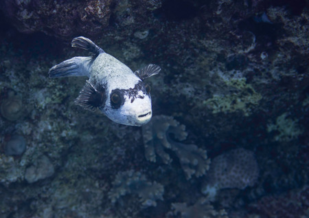 pufferfish: Masked pufferfish swimming over deep water in coral sea