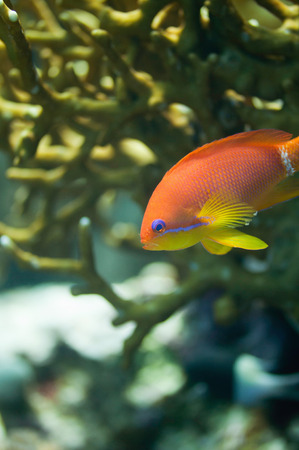 anthias fish: Brightly colored Anthias fish swimming through the fire coral shade. Macro image, focus set on the face, very shallow depth of field Stock Photo
