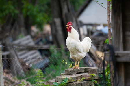 derelict: White rooster on a derelict farm. Selective focus