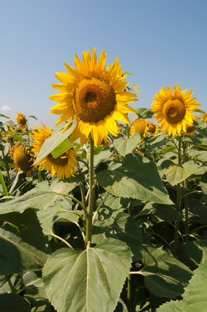deep focus: Sunflower plants in a field. Deep focus, rich colors Stock Photo