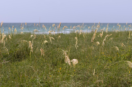 sea oats: Sea oats. Photo taken with low sun giving a golden tone to oats. Shallow depth of field, ProPhoto RGB