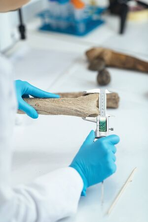Archaeology researcher in laboratory measuring antler with digital caliper. 스톡 콘텐츠