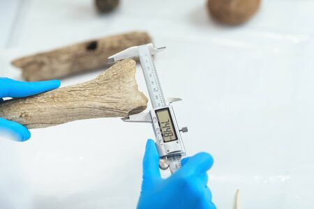 Archaeology researcher in laboratory measuring antler with digital caliper. Archivio Fotografico