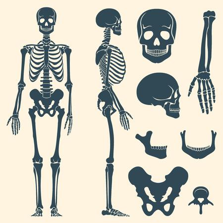 Los huesos humanos esqueleto del vector silueta. Conjunto de los huesos, ilustración columna vertebral y los huesos del cráneo