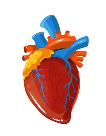 vein valve: Human heart anatomy vector medical illustration. Realistic vital organ isolated on white background