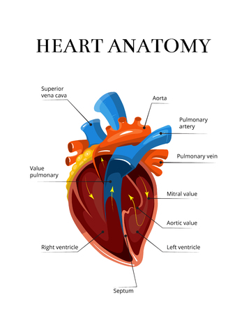 cardiological: Heart sectional anatomy vector cardiological illustration. Medical banner for study of human heart Illustration