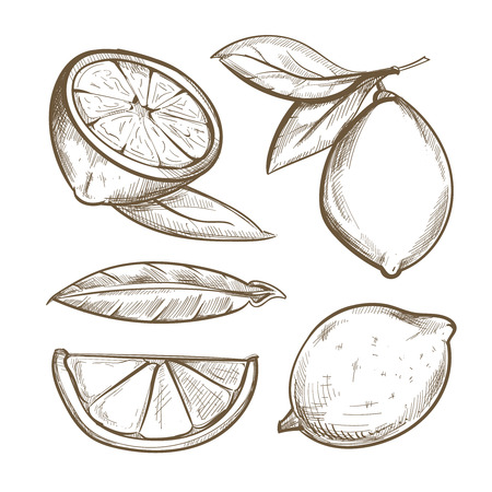 Hand drawn lemons with branch, lemon blossom, citrus slices and leaves. Citrus organic slice illustration Illustration