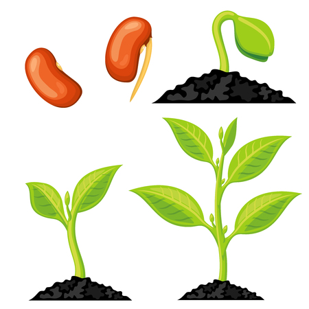 germination: Plant growth stages from seed to sprout. Organic growing plant, nature green plant isolated. Vector illustration Illustration