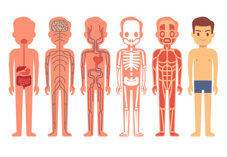 Human body anatomy vector. Male skeleton, muscular, circulatory, nervous and digestive systems. Human functioning system cartoon illustration Illustration