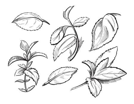 Mint, geneeskunde kruid pepermunt verlaat de hand getekende vector illustratie. Organische mintingredient, kruideninstallatie kruid mint schets Stock Illustratie