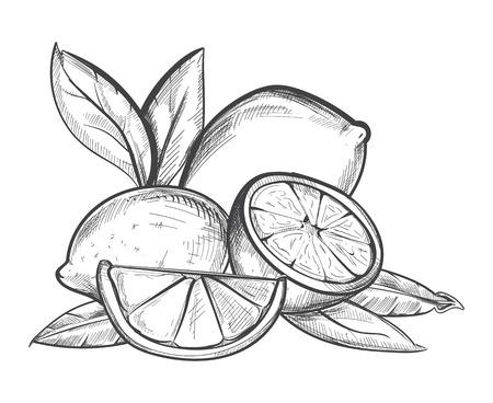 Lemons hand drawn vector illustration in black and white. Fruit citrus sketch