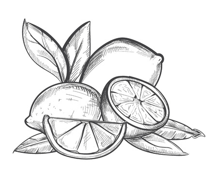 Lemons hand drawn vector illustration in black and white. Fruit citrus sketch