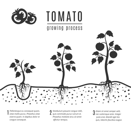 Tomato plant with roots vector growing stages. Tomato growing, illustration of monochrome banner growing process