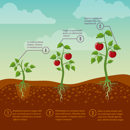 Illustration Showing The Parts Of A Tomato Plant Royalty Free