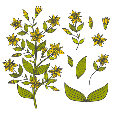 weeds: Colorful tutsan isolated on white background - buds, flowers and leaves of tutsan. Blossom flower bright, vector illustration Illustration
