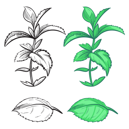 Coloring hand drawn mint plant and leaf with colorful samples. Herb mint plant, green spice leaf, vector illustration