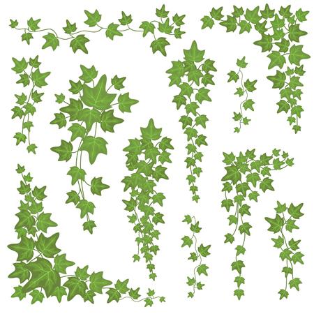 Bluszcz zielony liście na wiszących gałęziach. Ściana wspinaczkowa ozdoba roślina wektor zestaw na białym tle