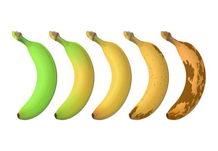 Banana fruit ripeness levels from green underripe to brown rotten. Vector set isolated on white background. Illustration of banana overripe and fresh