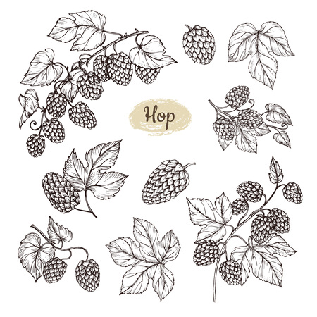 Hop plant branch with leaves and lump of hops in engraving style. Beer pub rural vector elements. Vector plant leaf hop for beer illustration
