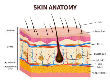 Human skin. Layered epidermis with hair follicle, sweat and sebaceous glands. Healthy skin anatomy medical vector illustration. Dermis and epidermis skin, hypodermis