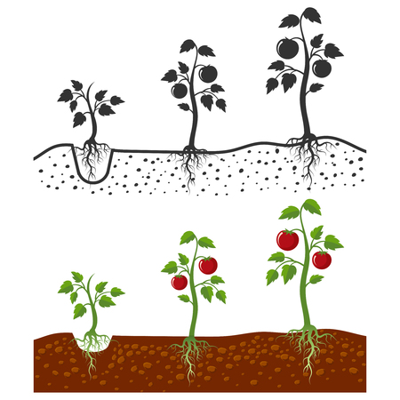 Planta de tomate con raíces vector etapas de crecimiento - estilo de dibujos animados y siluetas de tomates aislados sobre fondo blanco. Cultivo de tomate vegetal, ilustración de brote de agricultura