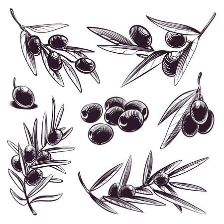 Hand drawn olive. Tree brunches with olives and leaves. Vintage sketch vector greece and spain food engraved collection. Olive leaf and plant branch organic illustration