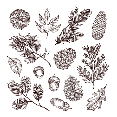 Sketch fir branches. Acorns and pine cones. Christmas, winter and autumn forest elements. Hand drawn vintage vector isolated set. Illustration of nature decoration drawing fir