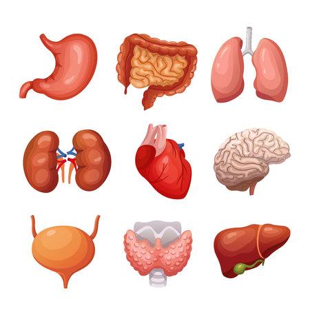 Menselijke interne organen. Maag en longen, nieren en hart, hersenen en lever. Lichaamsdelen vector anatomie set. Illustratie gezondheidsorgaanverzameling voor systeem