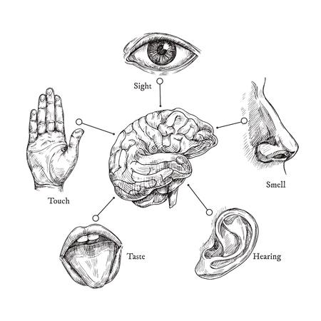 Cinque sensi umani. Disegna bocca e occhi, naso e orecchio, mano e cervello. Insieme di vettore della parte del corpo di Doodle. Illustrazione di organo umano, naso e orecchio, occhio e bocca
