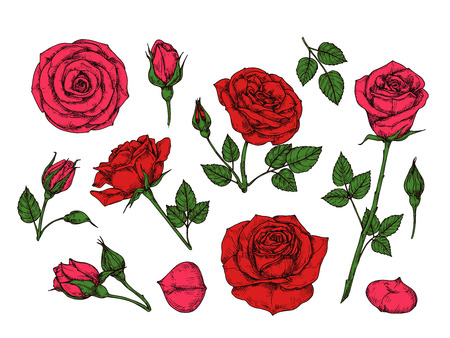Red rose. Hand drawn roses garden flowers with green leaves, buds and thorns. Cartoon vector isolated collection. Red rose petal, floral flower romantic illustration Vetores