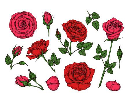 Rosa rossa. Fiori da giardino di rose disegnate a mano con foglie verdi, boccioli e spine. Raccolta isolata di vettore del fumetto. Petalo di rosa rossa, illustrazione romantica del fiore floreale Vettoriali