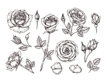 Hand drawn roses. Sketch rose flowers with thorns and leaves. Black and white vintage etching vector botanical isolated set. Illustration of rose petal, sketch botany floral plant Vetores