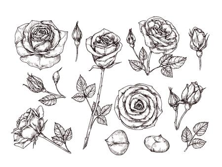 Handgezeichnete Rosen. Skizzieren Sie Rosenblüten mit Dornen und Blättern. Schwarz-Weiß-Vintage-Radierung Vektor botanischer isolierter Satz. Illustration von Rosenblüten, Skizzenbotanik-Blumenpflanze Vektorgrafik