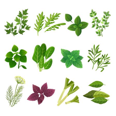 Zioła i przyprawy. Oregano zielona bazylia mięta szpinak kolendra pietruszka koperek i tymianek. Aromatyczne jedzenie ziół i przypraw wektor na białym tle zestaw. Ilustracja bazylii i rozmarynu, zielona mięta